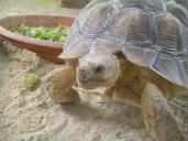 Hermann 's tortoise